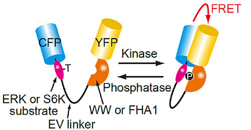 ERKとS6K活性を可視化するFRETバイオセンサーの構造