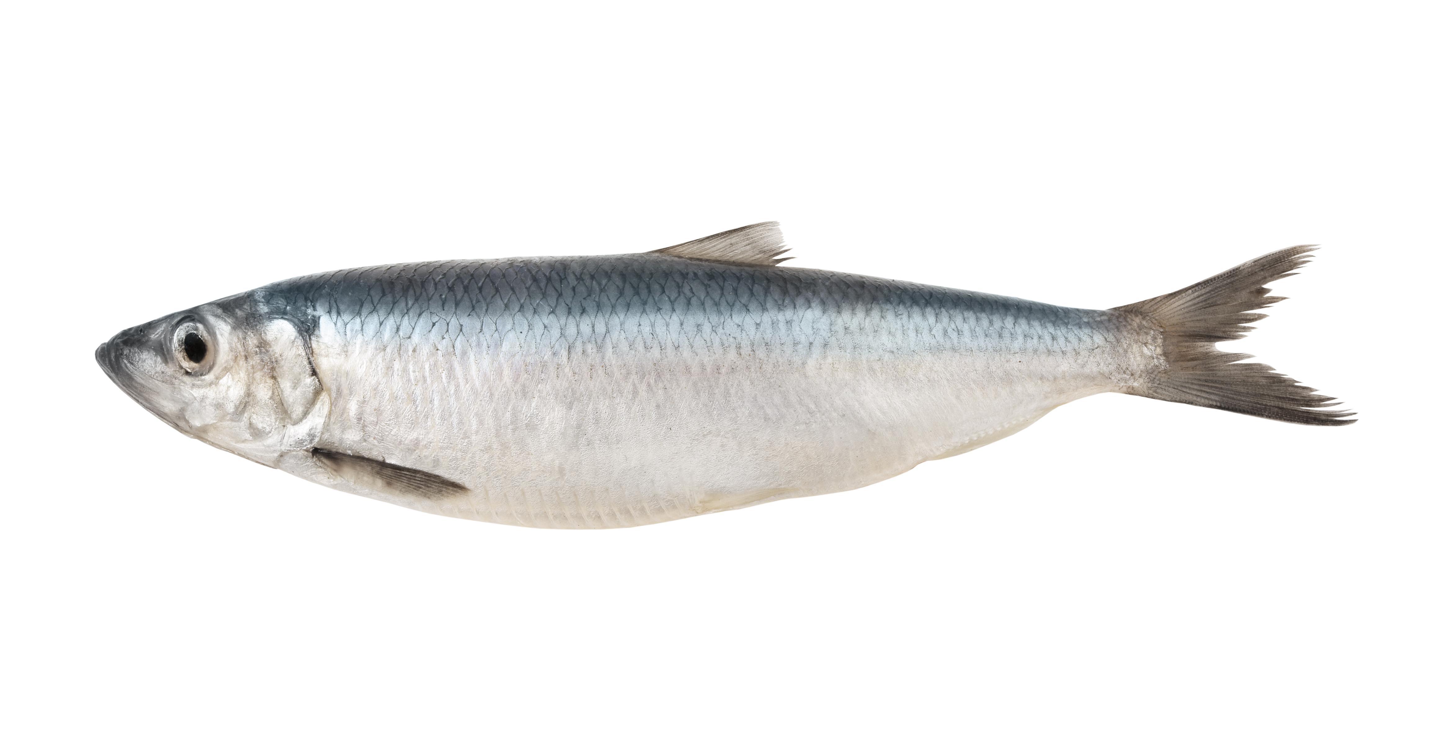 A herring