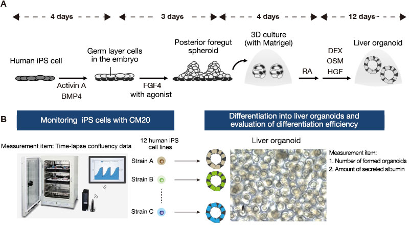 Figure 1. Monitoring human iPS cells during maintenance culture and evaluating liver organoid differentiation efficiency.