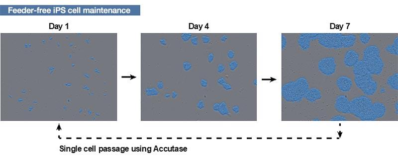 図1 ヒトiPS細胞の培養方法