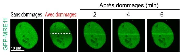 Figure2: Accumulation de MRE11 sur le site de rupture de l'ADN à la suite de lésionstion of MRE11 at the DNA break site