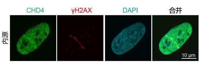 图3:募集内源性DNA损伤修复蛋白至DNA链断裂处