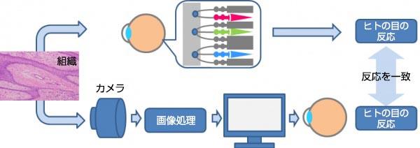 図3 人眼応答を模倣するためのオリンパスの色再現技術