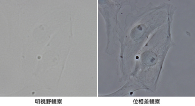PtK2細胞