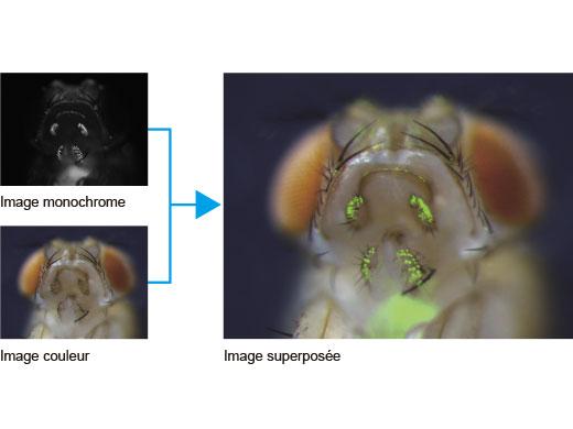 Superposition des images couleur et monochromes au pixel près