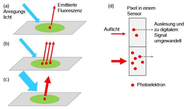 Abbildung 1: Von der Probe zum digitalen Signal - ein angeregtes markiertes Target emittiert Fluoreszenzlicht (a). Die Lichtintensität erhöht sich, wenn sich mehrere Targets in der Probe befinden (b) oder ein stärkeres Anregungslicht verwendet wird (c). Die Signalintensität ist proportional zur Intensität des einfallenden Lichts (d).