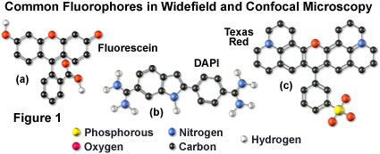 Confocal Microscopy - Fluorophores for Confocal Microscopy