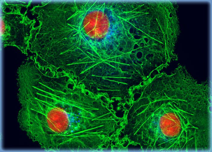 Transformed African Green Monkey Kidney Fibroblast Cells (COS-7 Line)
