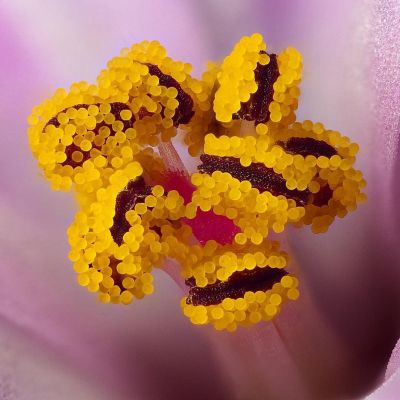Herb Robert under the microscope
