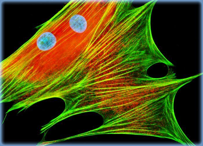 Mongoose Skin Fibroblast Cells (APM)
