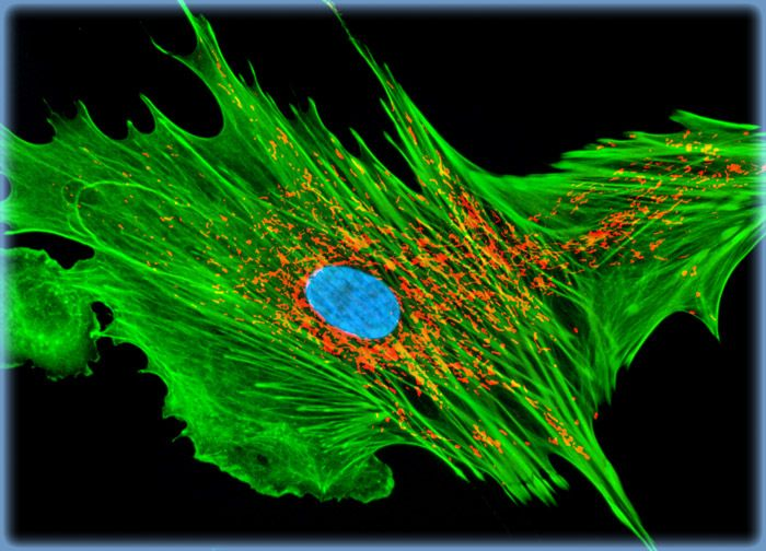 Mongoose Skin Fibroblast Cells (APM)